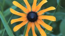 Wildflower, Black Eyed Susan, Bobbing Head In Breeze