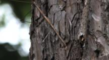 Zoom To Northern Walking Stick, Climbing Up Pine Tree Trunk, Exits