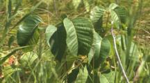 Poison Ivy Shrub, In Light Breeze