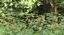 Large Jewelweed Plant, Zoom To Multiple Flowers, Dew On Stems