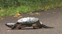 Snapping Turtle On Road, Walking, Water Foam On Shell, Disrupted By Floodwaters
