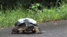 Snapping Turtle On Road, Walking, Changes Direction, Water Foam On Shell