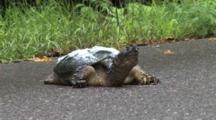 Snapping Turtle Resting On Road, Water Foam On Shell, Disrupted By Floodwaters