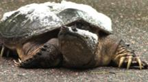 Snapping Turtle Resting On Road, Stands Up, Exits, Foam On Shell