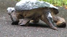 Empty Roadway, Snapping Turtle Enters, Passes Through, Quartering Away, Foam On Shell