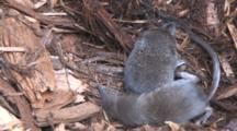 Three Pygmy Shrews In Nest, One Exits, Others Scratch