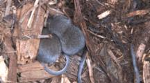 Two Pygmy Shrews In Nest, Trying To Sleep, Third Enters, Circles, Exits
