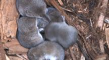 Five Pygmy Shrews In Nest Bundle, Trying To Sleep, One Disruptive