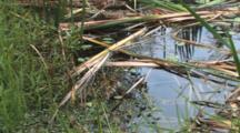 Cattails, Pond Weeds, Dug Up And Eaten By Beavers In Pond