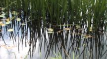 Cattail Shoots And Pond Lilies, Dragonfly Flying Through Frame