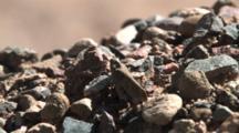 Carolina Grasshopper, Walking, Hiding Among Small Stones, Exits
