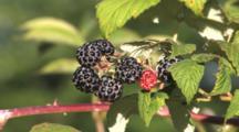 Wild Black Raspberry Cane And Fruit, Partially Ripe