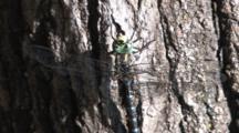 Dragonfly, Mosaic Darner, Resting On Tree Trunk
