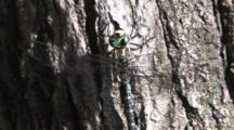 Dragonfly, Mosaic Canada Darner, Resting On Tree Trunk