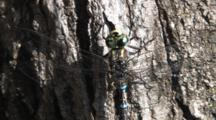Dragonfly, Mosaic Canada Darner, Resting On Tree Trunk, Breeze On Wings