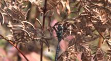 Dragonfly, Mosaic Canada Darner, Resting On Dried Fern Leaf