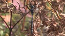 Dragonfly, Mosaic Canada Darner, Resting On Dried Fern Leaf, Breeze Blowing