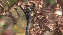 Dragonfly, Mosaic Darner, Resting On Dried Fern Leaf