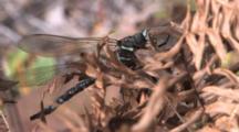 Dragonfly, Mosaic Canada Darner, Resting On Dried Fern Leaf, Vibrating Wings