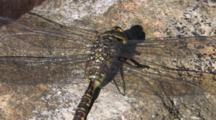 Dragonfly, Mosaic Darner, Resting On Rock