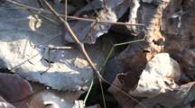 Northern Walking Stick, Lurches Through Frame On Dry Leaves