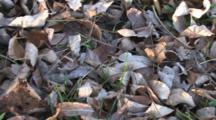 Dry Leaves, Northern Walking Stick Enters Frame