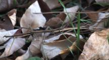 Northern Walking Stick , Motionless In Dry Leaves, Trying To Blend In