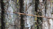 Northern Walking Stick , Motionless Against Pine Tree Trunk, Zoom To Cu