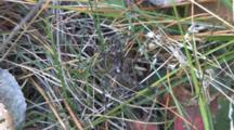 Wolf Spider, Still, Camouflaged In Grass And Leaves