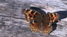 Butterfly, Compton Tortoiseshell, Opening And Closing Wings
