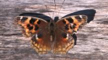 Butterfly, Compton Tortoiseshell, Opening And Closing Wings, Scratching Face