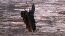 Butterfly, Compton Tortoiseshell, Opening And Closing Wings, Shadow