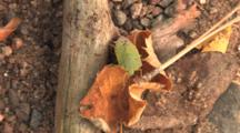 Green Stink Bug, Moving Over Dead Leaf, Falls Off, Exits