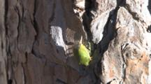 Green Stink Bug, Tavelling Down Pine Tree Trunk