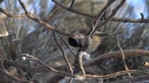 Black-Capped Chickadee In Frosted Red Pine, Working, Hammering On Seed, Eats Seed