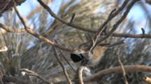 Black-Capped Chickadee In Red Pine, Working, Hammering On Seed