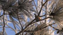 Black-Capped Chickadee In Red Pine, Hops, Picks At Pine Needles, Turns Back, Warm Foot