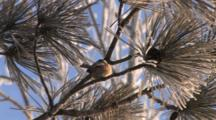 Black-Capped Chickadee In Frosted Red Pine, Hops To Lower Branch, Exits