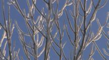Frosted Silver Maple Tree, Zoom To Bare Branches On Winter Morning