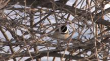 Black-Capped Chickadee Hiding In Grape Vines, Exits