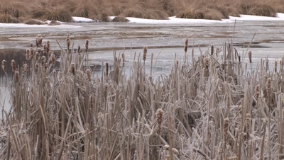 Cattails Along Frozen Stream,Crystal Ice Coating