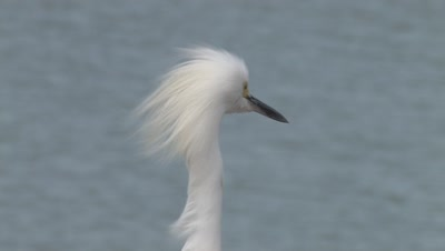 Snowy Egret,ZI to CU Head Feathers
