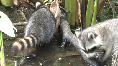 Raccoon and Young Searching For Food, in Florida Wetland Swamp