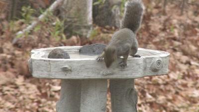 Grey Squirrel Drinking From Birdbath,Exits