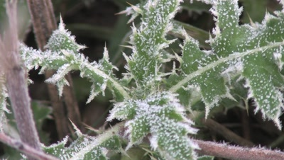 Thistle Leaves,Frost Lined