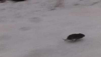 Meadow Vole Running Down Edge of Snow Covered Roadway