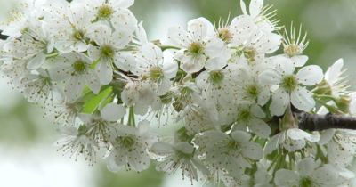 Apple Blossoms in Light Breeze