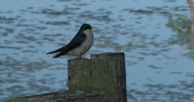 Male Green Tree Swallow Sitting on Stump at Dusk