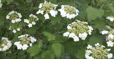High Bush Cranberry Blossoms