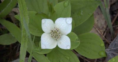 Bunchberry Blossoms,Wildflower,Edible Wild Plant